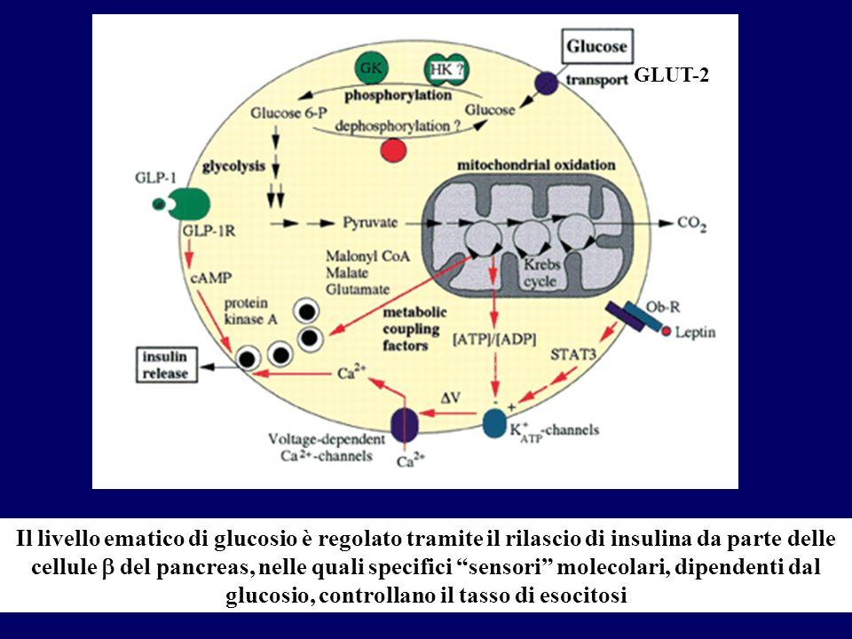Il livello ematico di glucosio è regolato tramite il rilascio di insulina da parte delle cellule del pancreas, nelle quali specifici sensori molecolar
