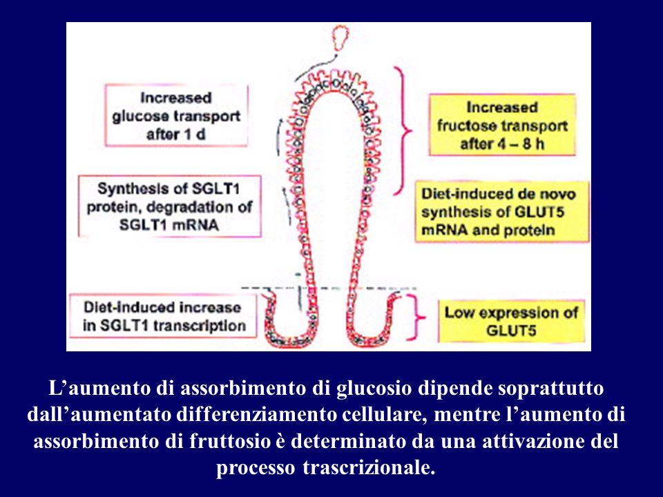 Laumento di assorbimento di glucosio dipende soprattutto dallaumentato differenziamento cellulare, mentre laumento di assorbimento di fruttosio è dete
