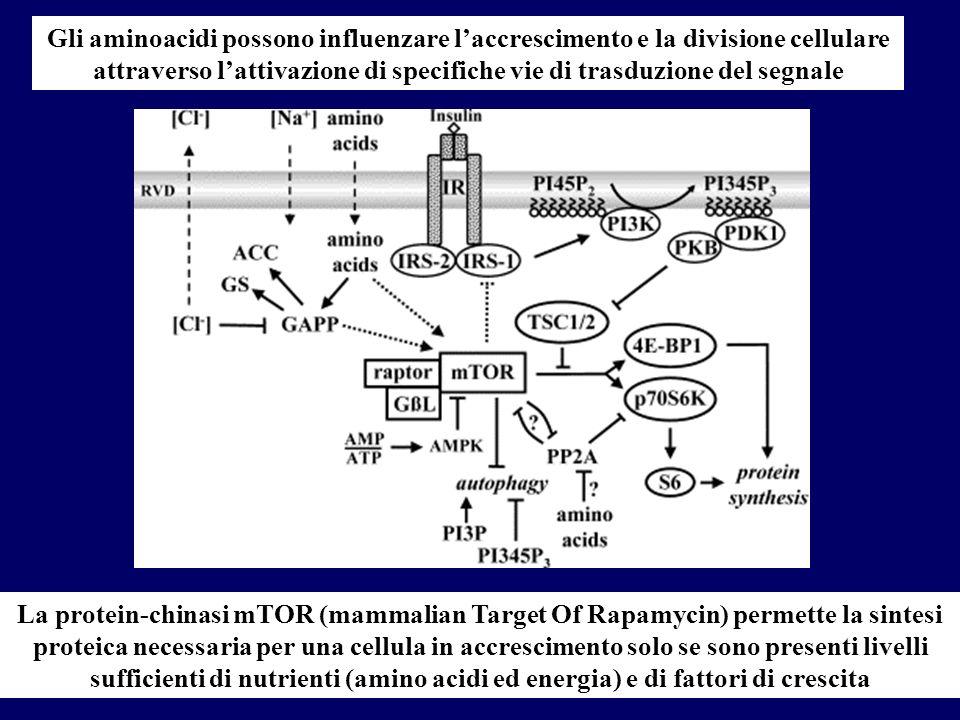 Gli aminoacidi possono influenzare laccrescimento e la divisione cellulare attraverso lattivazione di specifiche vie di trasduzione del segnale La pro