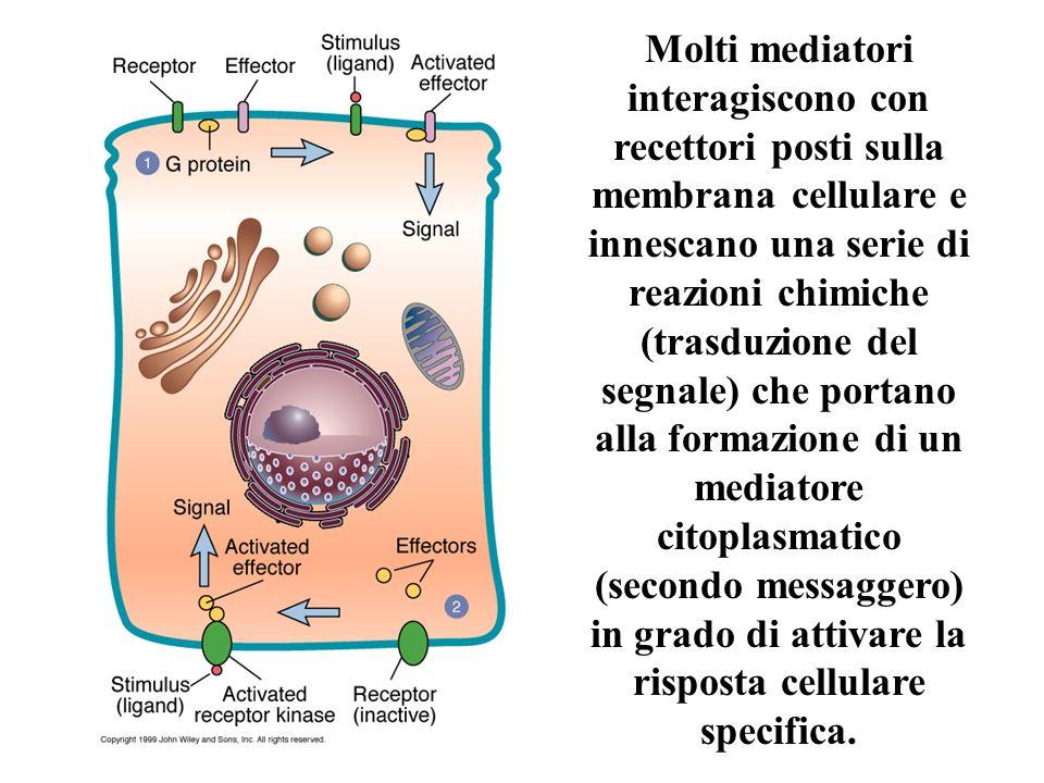 Molti mediatori interagiscono con recettori posti sulla membrana cellulare e innescano una serie di reazioni chimiche (trasduzione del segnale) che po