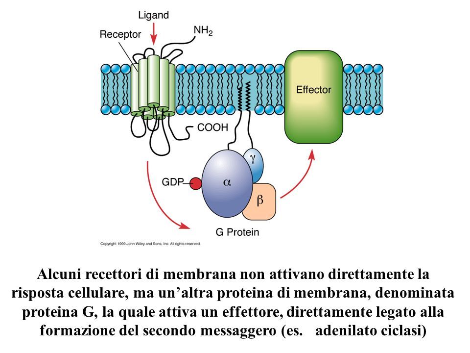 Alcuni recettori di membrana non attivano direttamente la risposta cellulare, ma unaltra proteina di membrana, denominata proteina G, la quale attiva