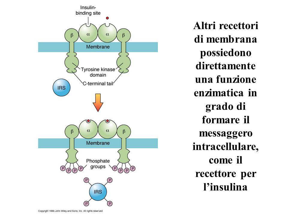 Altri recettori di membrana possiedono direttamente una funzione enzimatica in grado di formare il messaggero intracellulare, come il recettore per li