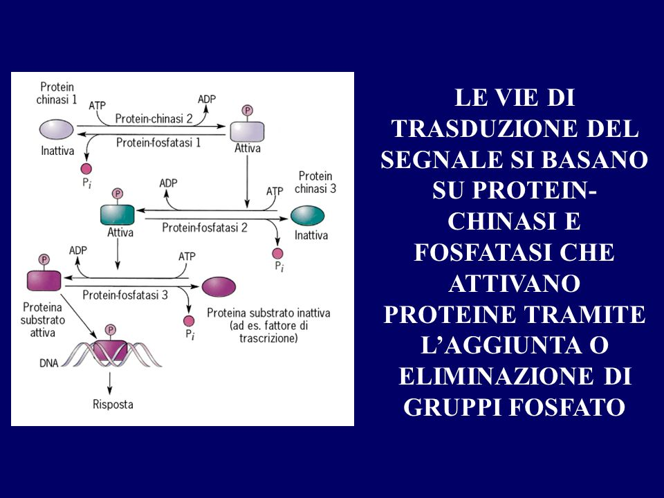 La risposta cellulare inizia generalmente con lattivazione di proteine chiave.