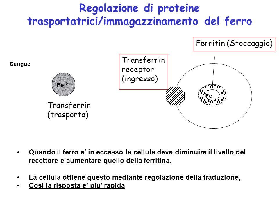 Fe 2+ Sangue Fe 3+ Transferrin (trasporto) Transferrin receptor (ingresso) Ferritin (Stoccaggio) Regolazione di proteine trasportatrici/immagazzinamen