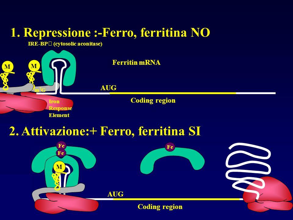 M Coding region AUG Fe m7Gm7G Iron Response Element IRE-BP (cytosolic aconitase) Fe M Ferritin mRNA Coding region AUG 1. Repressione :-Ferro, ferritin