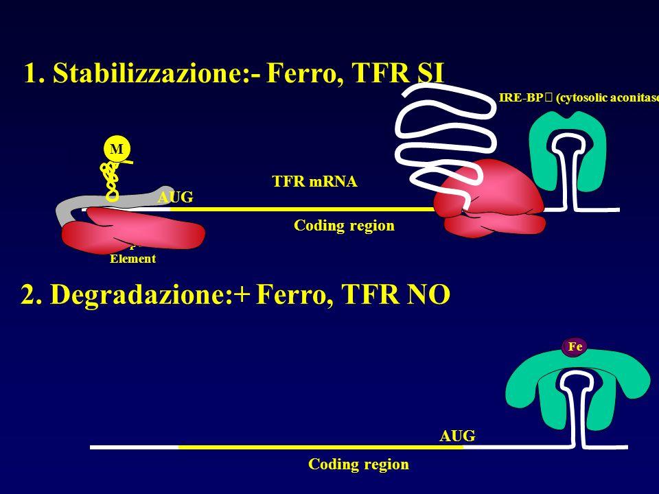 Coding region AUG m7Gm7G Iron Response Element IRE-BP (cytosolic aconitase) Fe M TFR mRNA Coding region AUG 1. Stabilizzazione:- Ferro, TFR SI 2. Degr