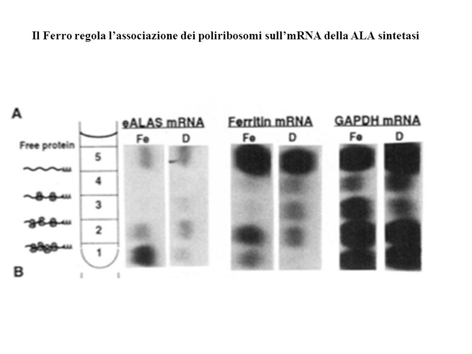 Il Ferro regola lassociazione dei poliribosomi sullmRNA della ALA sintetasi