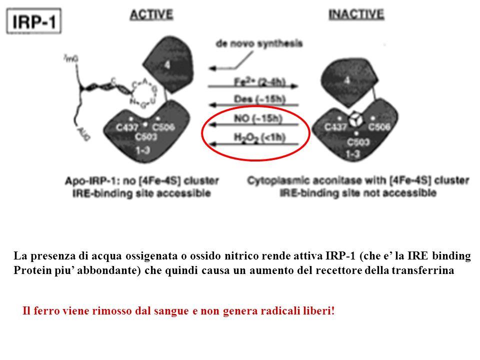 La presenza di acqua ossigenata o ossido nitrico rende attiva IRP-1 (che e la IRE binding Protein piu abbondante) che quindi causa un aumento del rece