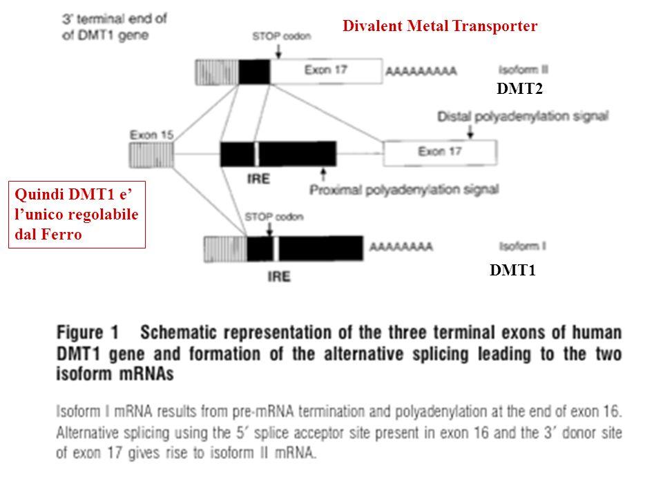 DMT1 DMT2 Quindi DMT1 e lunico regolabile dal Ferro Divalent Metal Transporter
