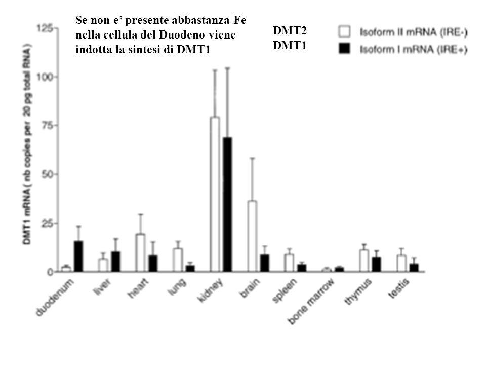 DMT2 DMT1 Se non e presente abbastanza Fe nella cellula del Duodeno viene indotta la sintesi di DMT1