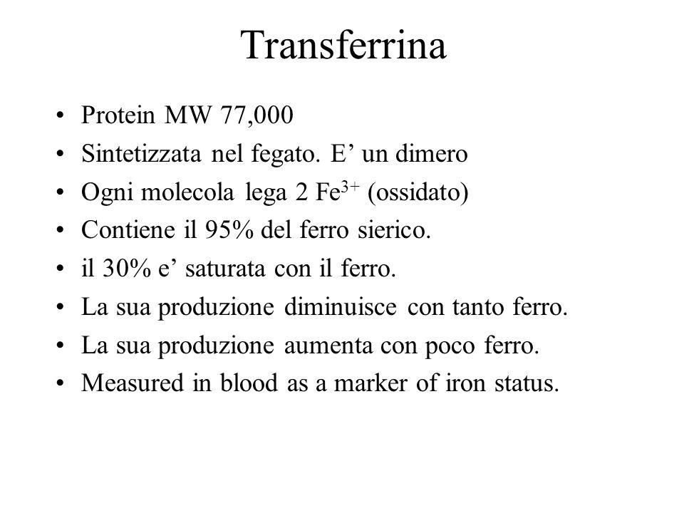 Transferrina Protein MW 77,000 Sintetizzata nel fegato. E un dimero Ogni molecola lega 2 Fe 3+ (ossidato) Contiene il 95% del ferro sierico. il 30% e