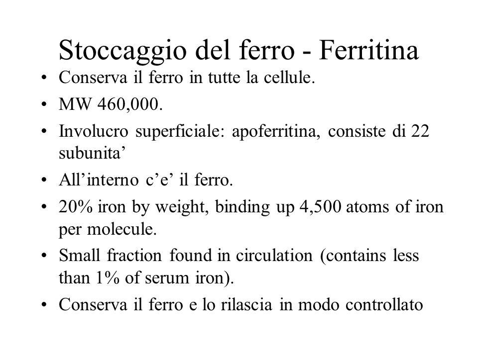 Stoccaggio del ferro - Ferritina Conserva il ferro in tutte la cellule. MW 460,000. Involucro superficiale: apoferritina, consiste di 22 subunita Alli