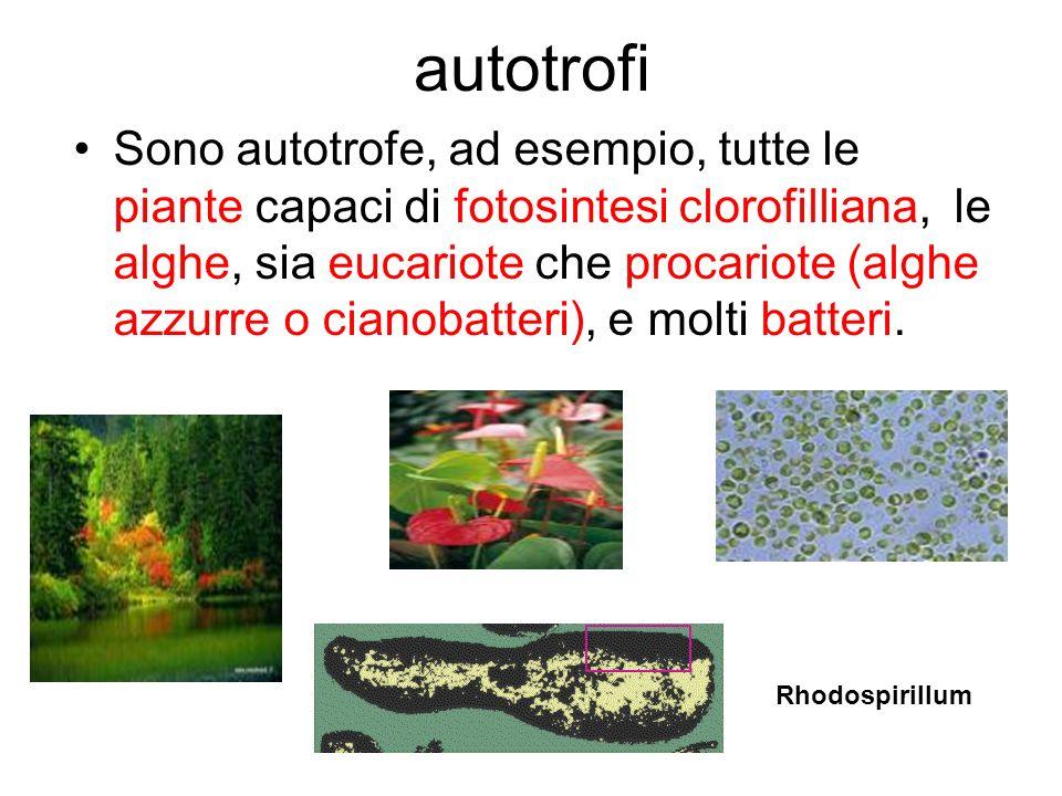 autotrofi Sono autotrofe, ad esempio, tutte le piante capaci di fotosintesi clorofilliana, le alghe, sia eucariote che procariote (alghe azzurre o cia