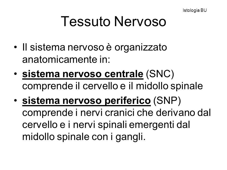 Sistema nervoso centrale La sostanza grigia contiene il soma (corpo cellulare), fibre amieliniche e mieliniche, astrociti protoplasmatici, oligodendrociti e cellule di microglia.