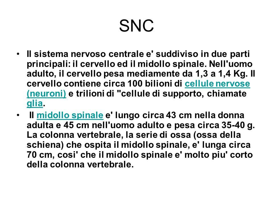 Astrociti (SNC) Si conoscono due tipi di astrociti: astrociti protoplasmatici – presenti nella sostanza grigia del SNC astrociti fibrosi – presenti nella sostanza bianca del SNC