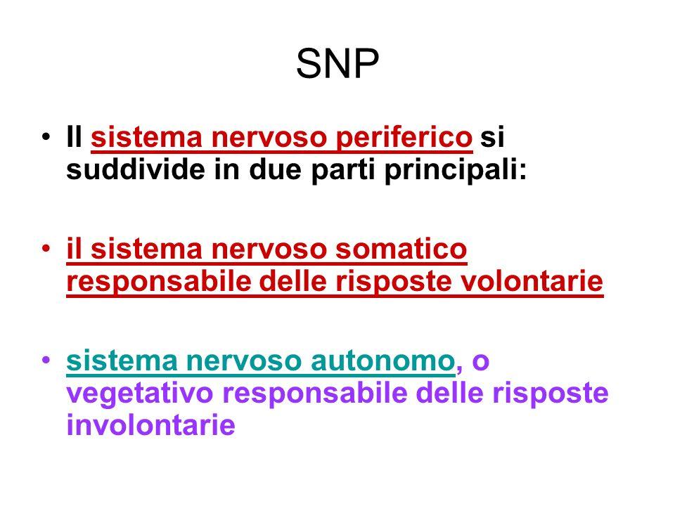neuroni I neuroni Sono le cellule responsabili della ricezione e della trasmissione degli impulsi nervosi da e verso il SNC.