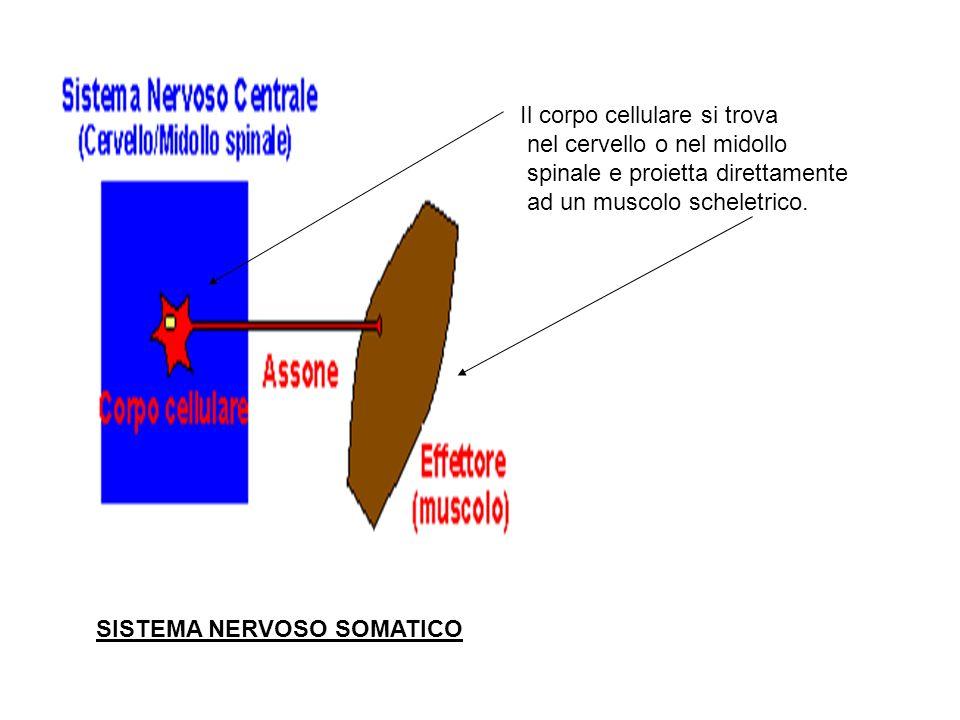 Sistema Nervoso Autonomo o vegetativo Il sistema nervoso autonomo e suddiviso in due parti ad azione antagonista: Il simpatico (toracico - lombare) il parasimpatico (craniosacrale) Il sistema nervoso autonomo controlla la muscolatura liscia dei visceri e le ghiandole.