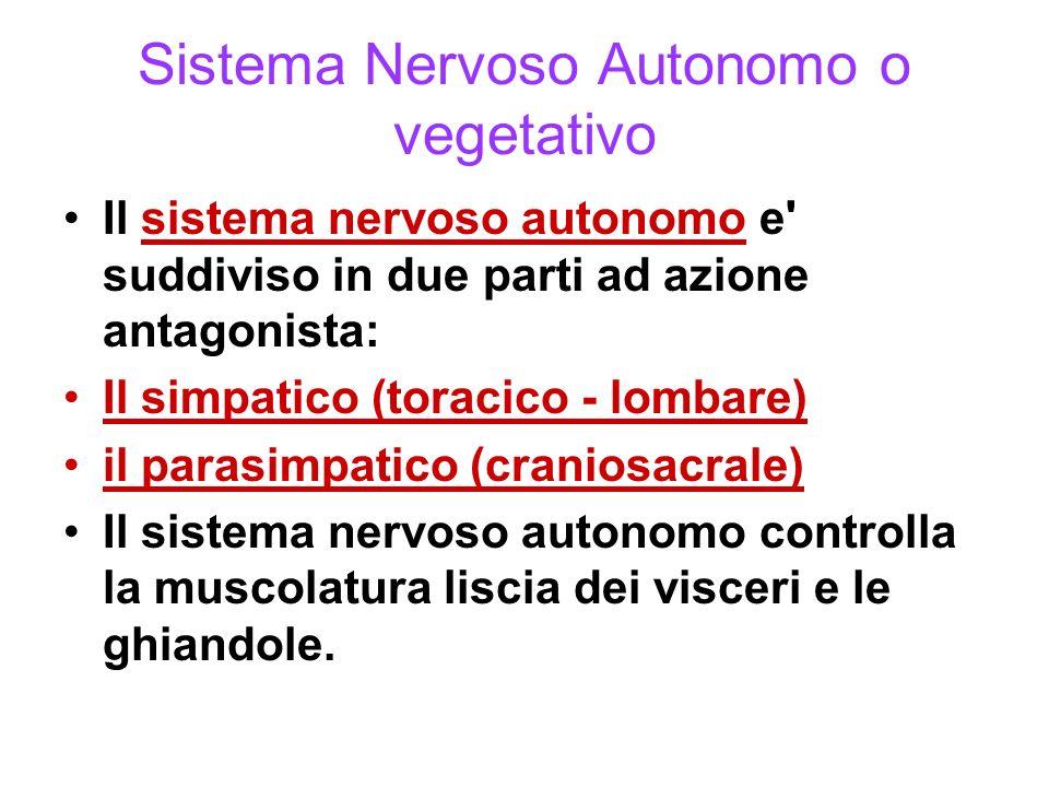 Sistema Nervoso Enterico Il sistema nervoso enterico è un intrigo di fibre nervose che innerva i visceri (tratto gastrointestinale, pancreas, cistifellea).