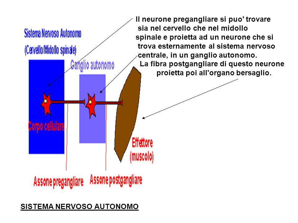 sinapsi Riconosciamo quindi due tipi di sinapsi: Sinapsi elettriche Sinapsi chimiche
