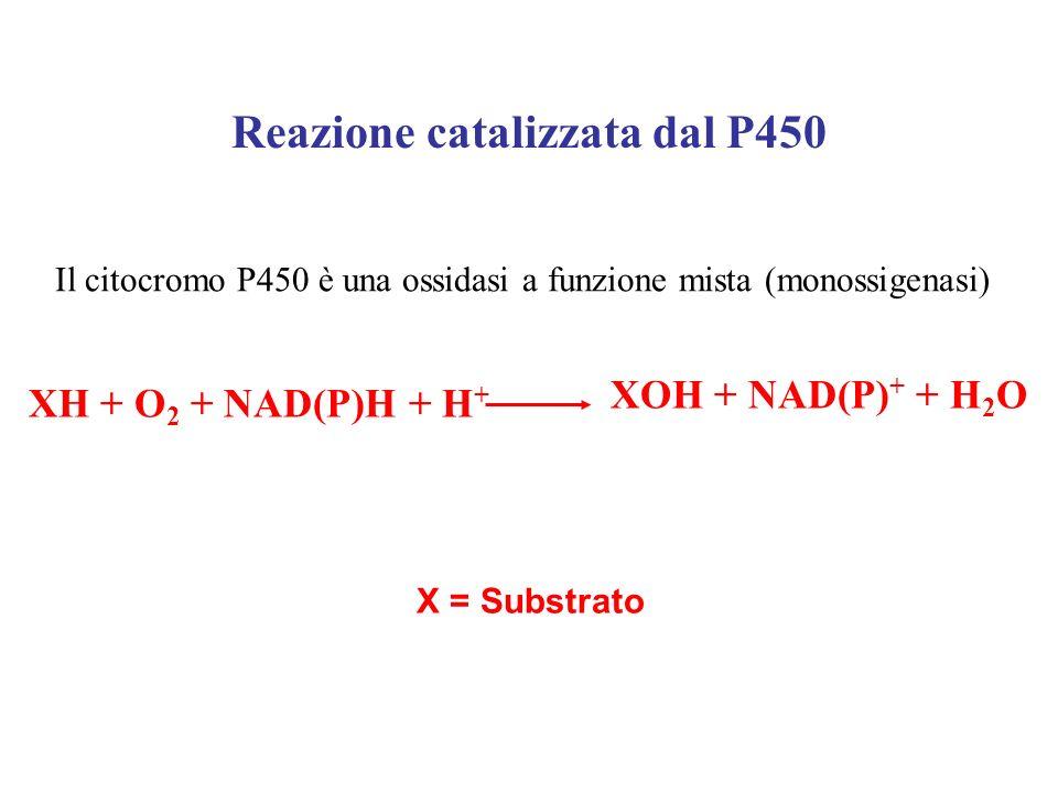 XH + O 2 + NAD(P)H + H + XOH + NAD(P) + + H 2 O Reazione catalizzata dal P450 Il citocromo P450 è una ossidasi a funzione mista (monossigenasi) X = Su