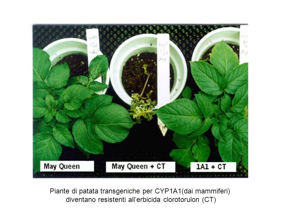Piante di patata transgeniche per CYP1A1(dai mammiferi) diventano resistenti allerbicida clorotorulon (CT)