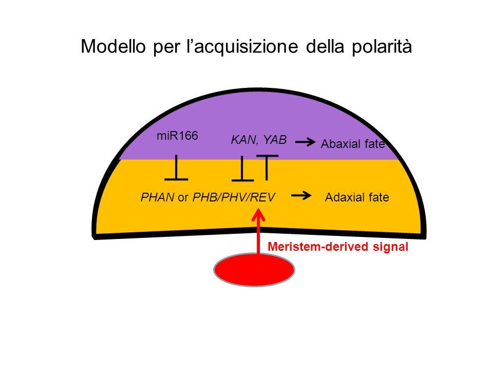Modello per lacquisizione della polarità PHAN or PHB/PHV/REV miR166 KAN, YAB Adaxial fate Abaxial fate Meristem-derived signal