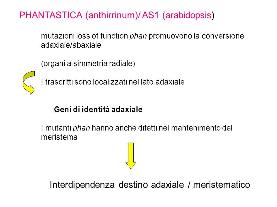 mutazioni loss of function phan promuovono la conversione adaxiale/abaxiale (organi a simmetria radiale) I trascritti sono localizzati nel lato adaxia