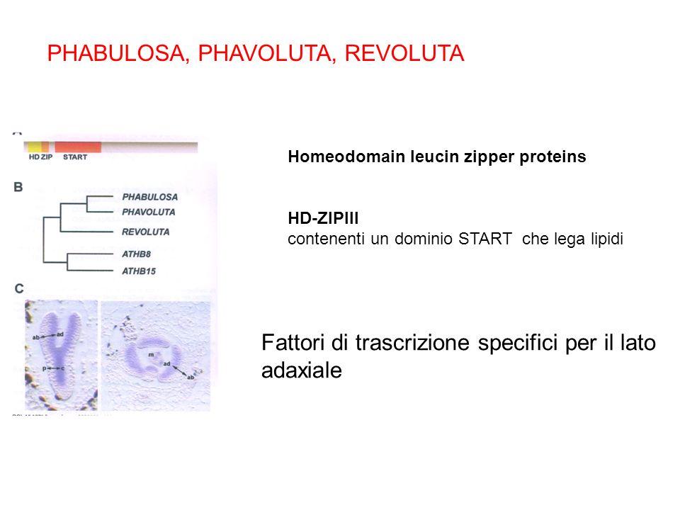 Homeodomain leucin zipper proteins HD-ZIPIII contenenti un dominio START che lega lipidi PHABULOSA, PHAVOLUTA, REVOLUTA Fattori di trascrizione specif