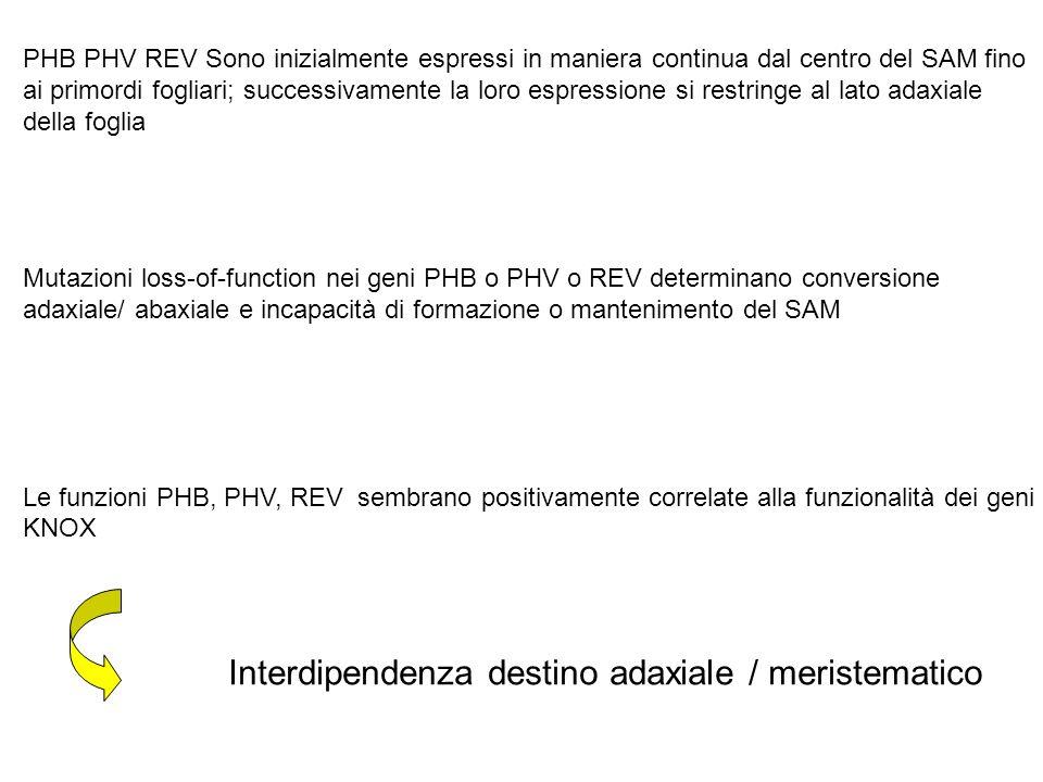 PHB PHV REV Sono inizialmente espressi in maniera continua dal centro del SAM fino ai primordi fogliari; successivamente la loro espressione si restri