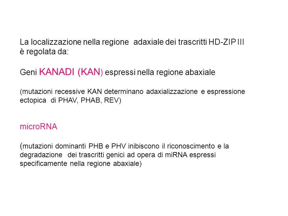 La localizzazione nella regione adaxiale dei trascritti HD-ZIP III è regolata da: Geni KANADI (KAN ) espressi nella regione abaxiale (mutazioni recess