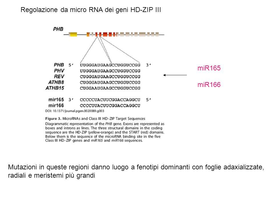 Regolazione da micro RNA dei geni HD-ZIP III Mutazioni in queste regioni danno luogo a fenotipi dominanti con foglie adaxializzate, radiali e meristem