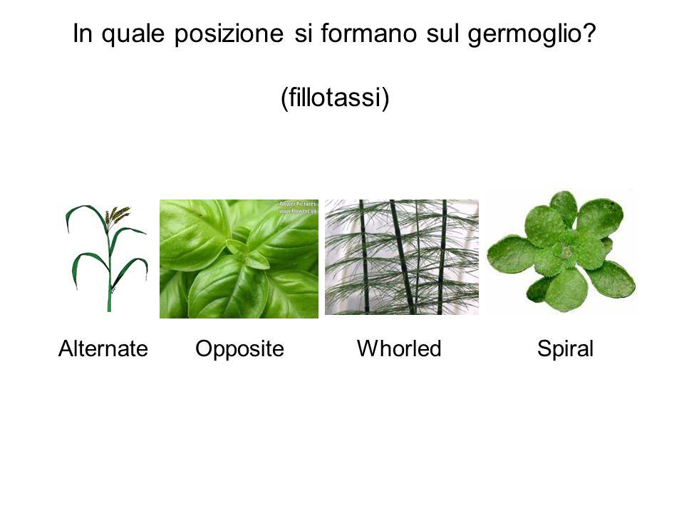 In quale posizione si formano sul germoglio? (fillotassi) AlternateOpposite WhorledSpiral