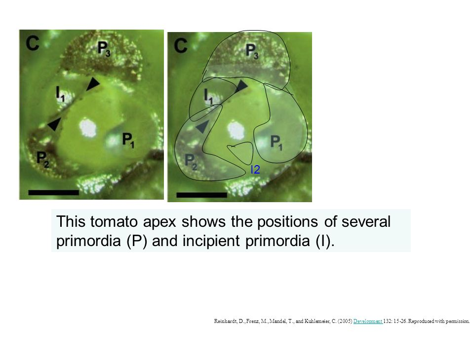 P3P3 P2P2 P1P1 I1I1 I2I2 This tomato apex shows the positions of several primordia (P) and incipient primordia (I).