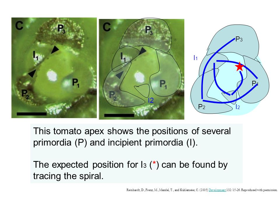P3P3 P2P2 P1P1 I1I1 I2I2 This tomato apex shows the positions of several primordia (P) and incipient primordia (I). The expected position for I 3 (*)