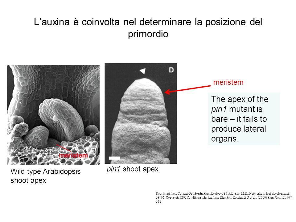Lauxina è coinvolta nel determinare la posizione del primordio The apex of the pin1 mutant is bare – it fails to produce lateral organs. meristem Repr