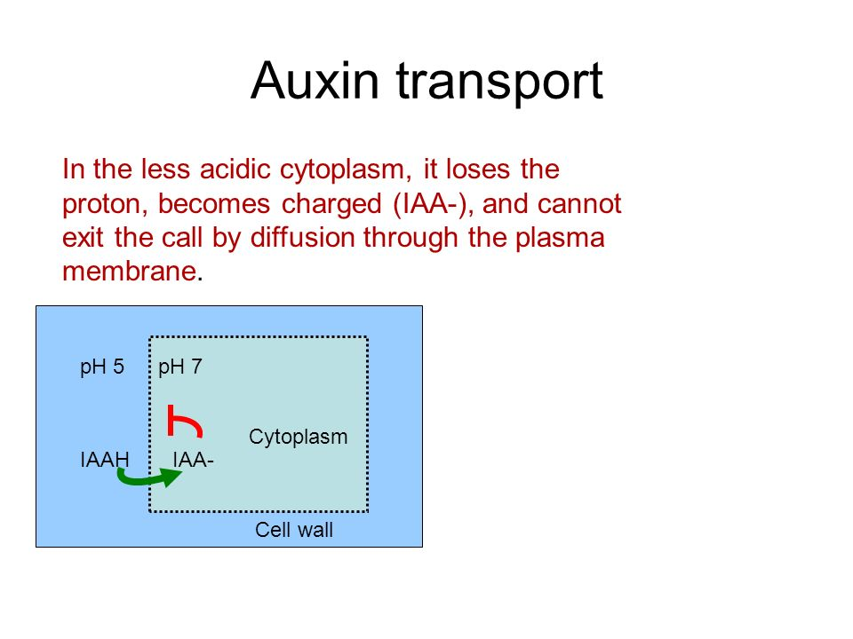 Auxin transport IAA- pH 7pH 5 IAAH PIN1 protein Auxin efflux through PIN1 The PIN1 protein is an auxin efflux carrier, transporting charged auxin back out of the cytoplasm.