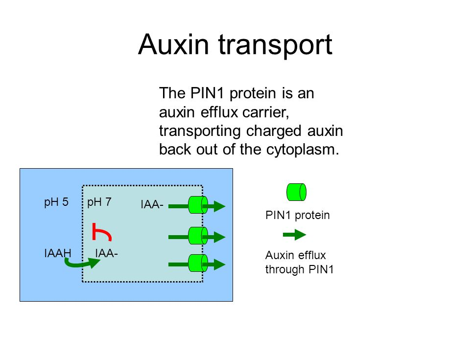 Auxin transport The subcellular localization of PIN proteins can be polar and coordinated between cells, causing directed auxin transport.
