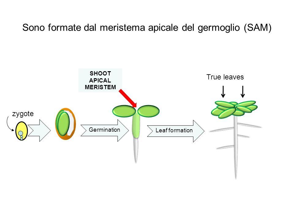 Sono formate dal meristema apicale del germoglio (SAM) Germination zygote SHOOT APICAL MERISTEM Leaf formation True leaves
