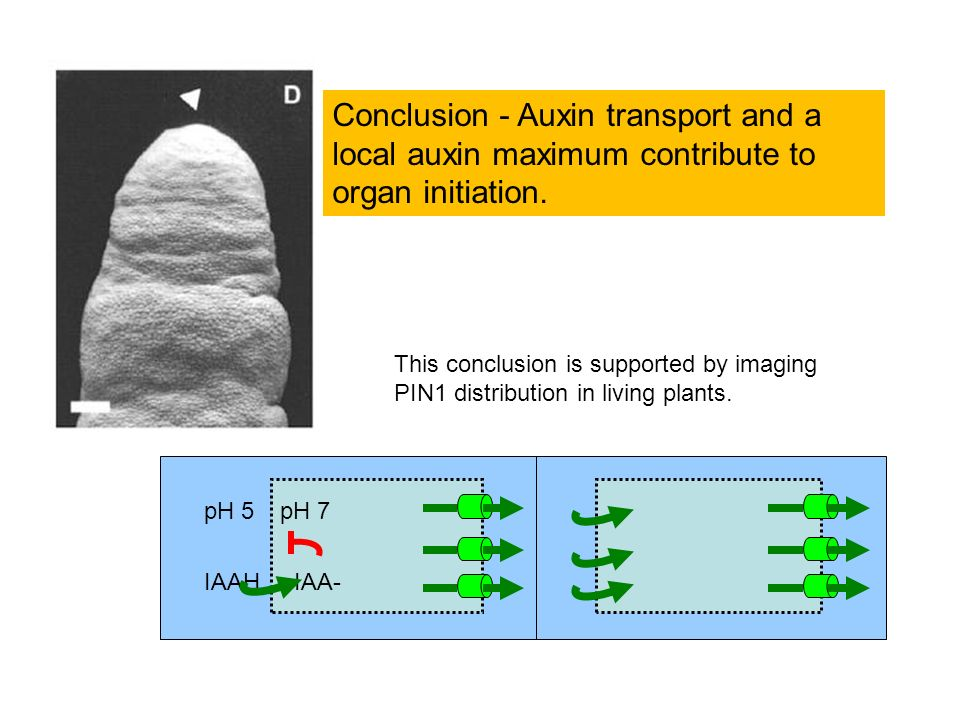 IAA- pH 7pH 5 IAAH Conclusion - Auxin transport and a local auxin maximum contribute to organ initiation. This conclusion is supported by imaging PIN1