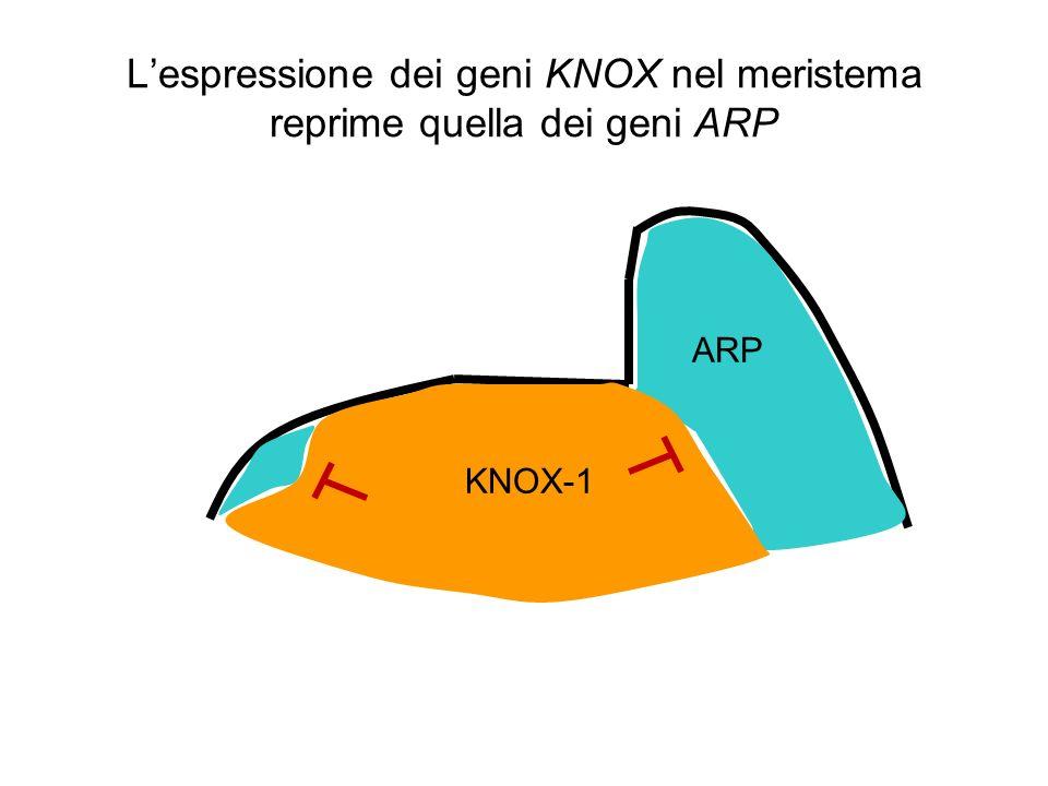 Lespressione dei geni KNOX nel meristema reprime quella dei geni ARP ARP KNOX-1
