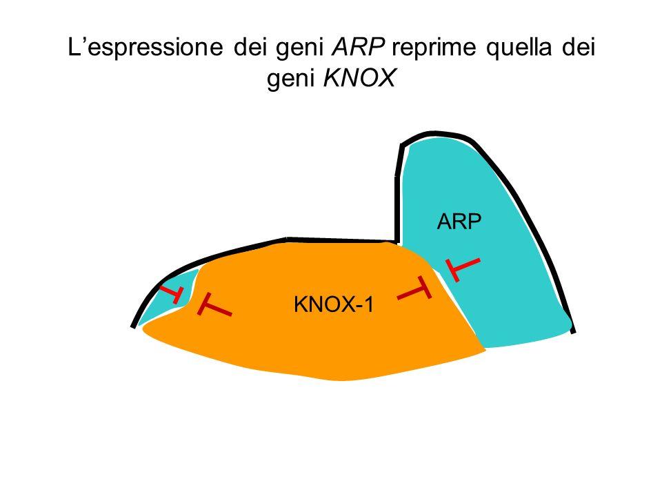Lespressione dei geni ARP reprime quella dei geni KNOX ARP KNOX-1