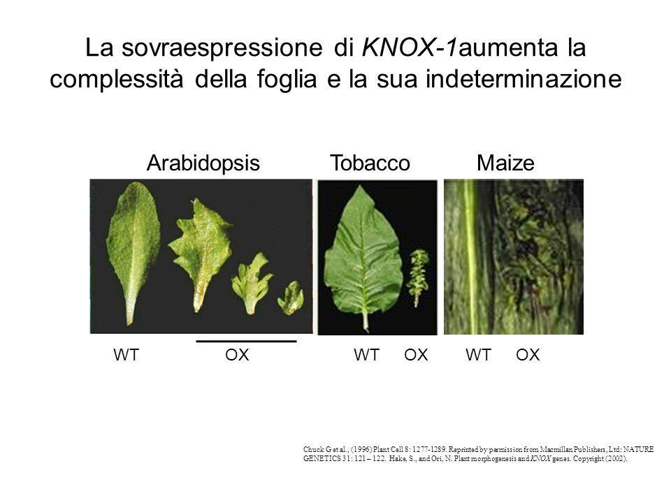 La sovraespressione di KNOX-1aumenta la complessità della foglia e la sua indeterminazione Chuck G et al., (1996) Plant Cell 8: 1277-1289. Reprinted b
