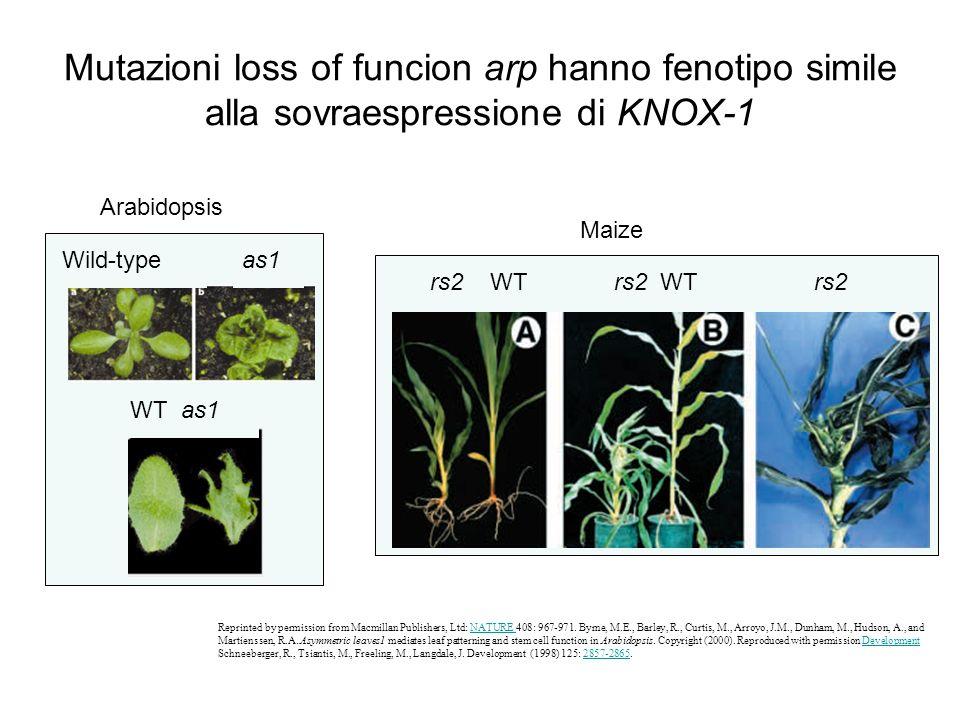 Mutazioni loss of funcion arp hanno fenotipo simile alla sovraespressione di KNOX-1 Reprinted by permission from Macmillan Publishers, Ltd: NATURE 408