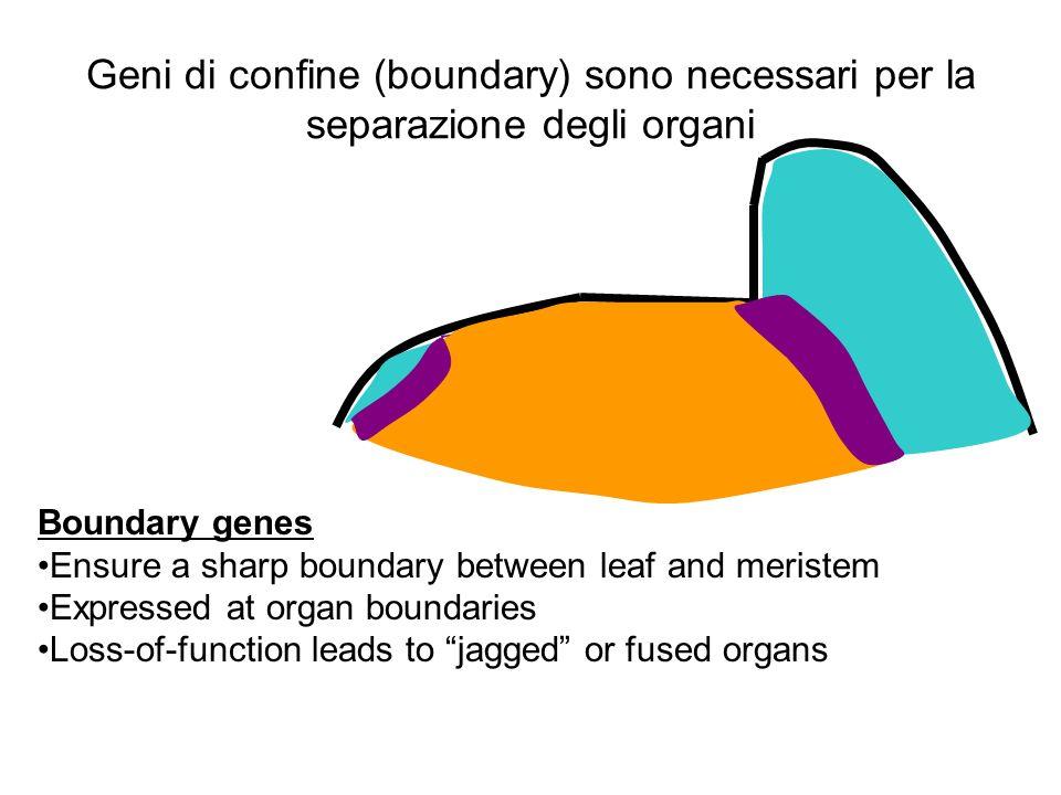 Geni di confine (boundary) sono necessari per la separazione degli organi Boundary genes Ensure a sharp boundary between leaf and meristem Expressed a