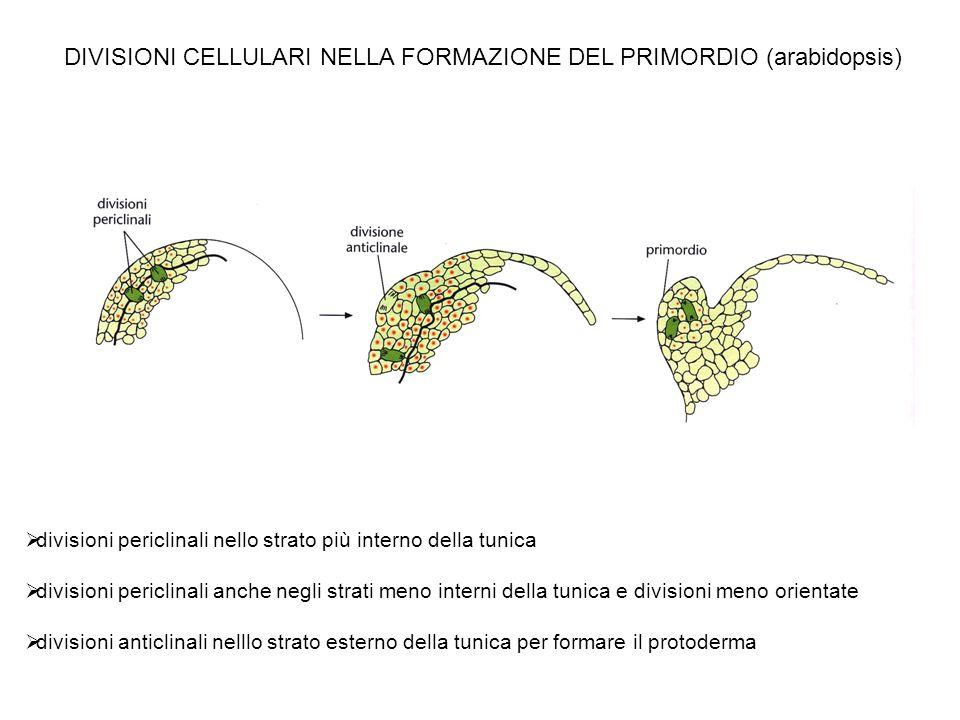 DIVISIONI CELLULARI NELLA FORMAZIONE DEL PRIMORDIO (arabidopsis) divisioni periclinali nello strato più interno della tunica divisioni periclinali anc