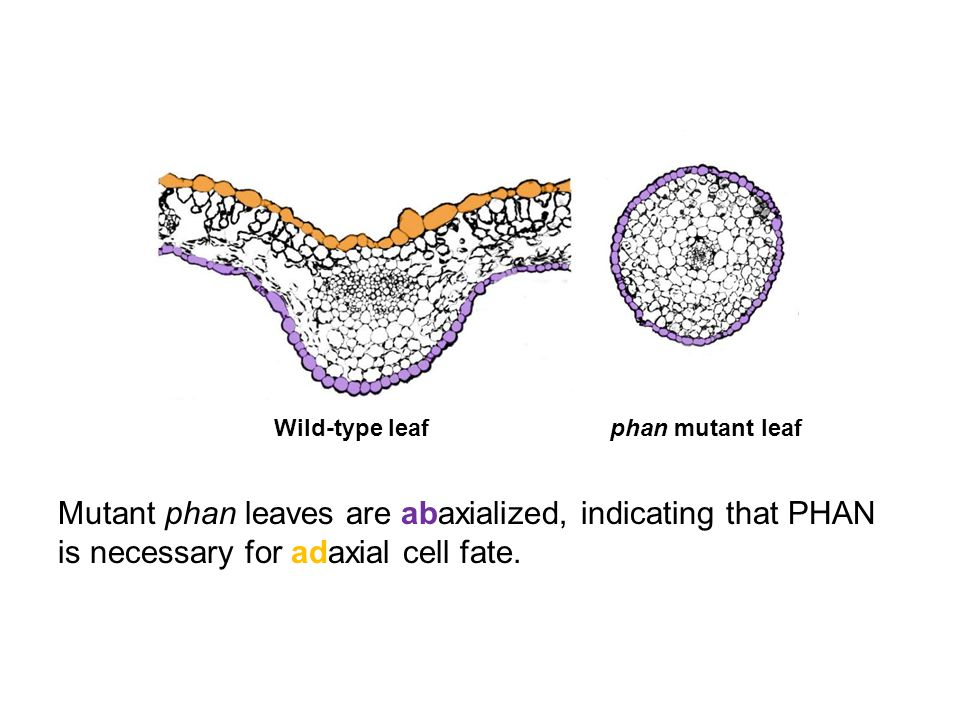 Mutant phan leaves are abaxialized, indicating that PHAN is necessary for adaxial cell fate. phan mutant leafWild-type leaf