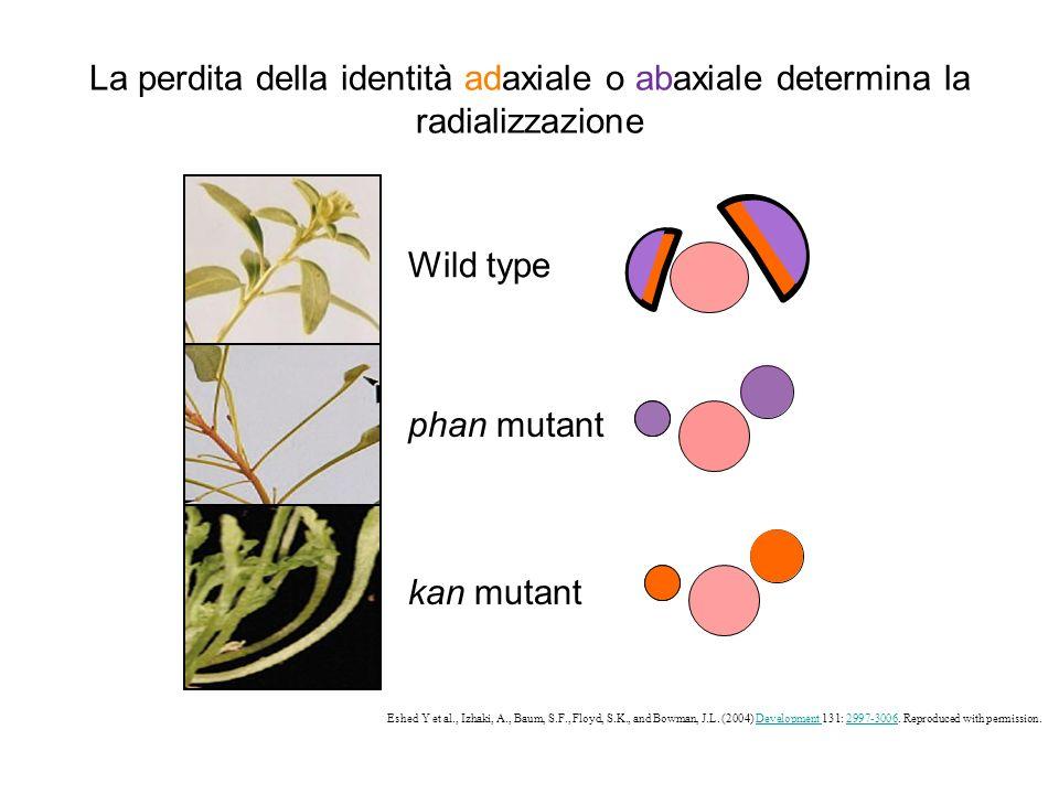 La perdita della identità adaxiale o abaxiale determina la radializzazione Wild type phan mutant kan mutant Eshed Y et al., Izhaki, A., Baum, S.F., Fl