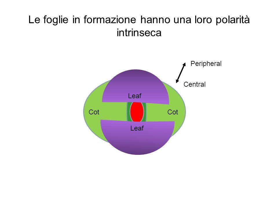 Le foglie in formazione hanno una loro polarità intrinseca Leaf Cot Peripheral Central