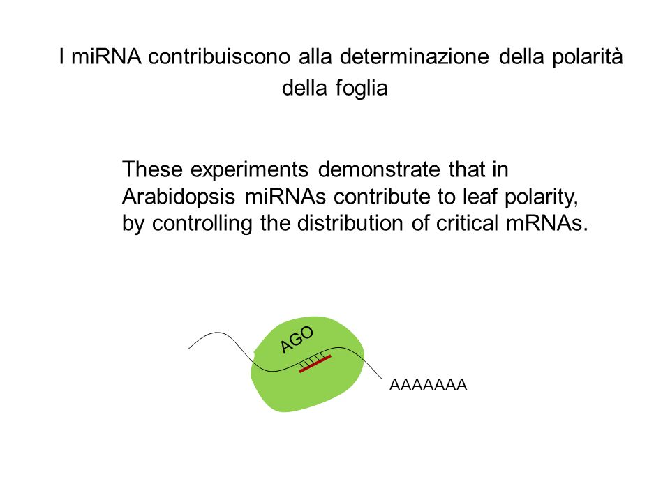 These experiments demonstrate that in Arabidopsis miRNAs contribute to leaf polarity, by controlling the distribution of critical mRNAs. AAAAAAA AGO I