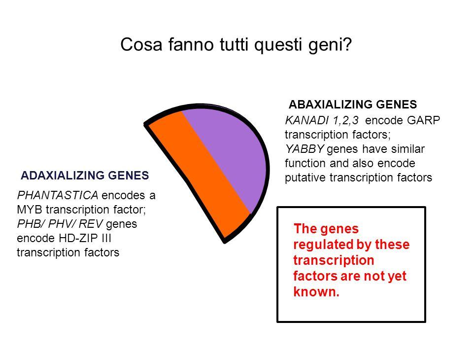 Cosa fanno tutti questi geni? KANADI 1,2,3 encode GARP transcription factors; YABBY genes have similar function and also encode putative transcription